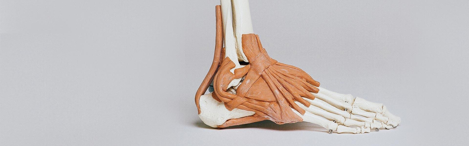 Szkielet stopy